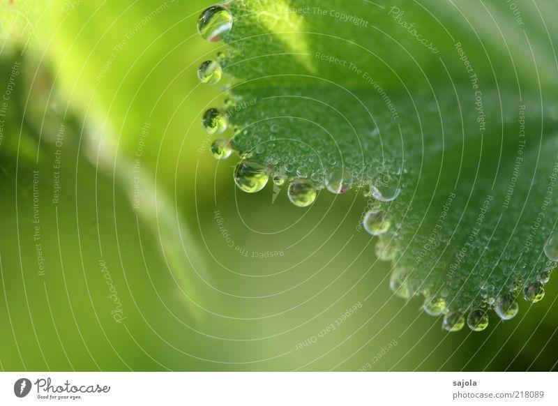 wasserperlen Umwelt Natur Pflanze Urelemente Wasser Wassertropfen Blatt Grünpflanze ästhetisch grün Tau Farbfoto Außenaufnahme Nahaufnahme Detailaufnahme