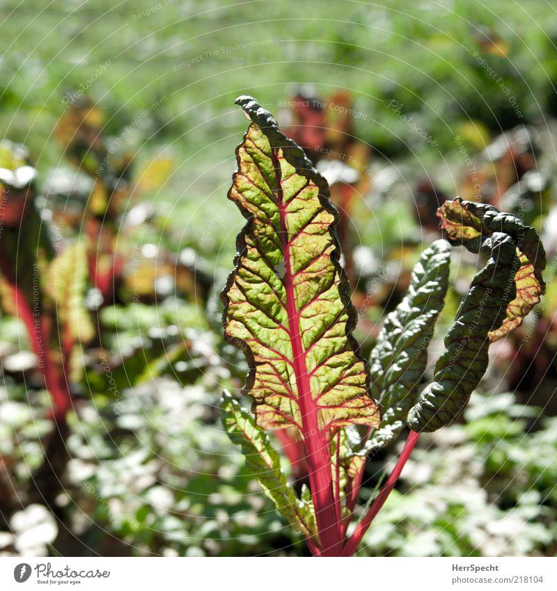 Mangold rot-grün Pflanze Blatt Grünpflanze Nutzpflanze Gemüse Gemüsebeet durchscheinend leuchtend grün leuchtende Farben Blattadern Gärtnerei Feld Roter Mangold