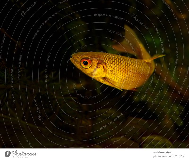 Rotauge Natur grün rot ruhig schwarz gelb dunkel gold Fisch ästhetisch Schwimmen & Baden dünn Wildtier Aquarium Fischauge Rotauge