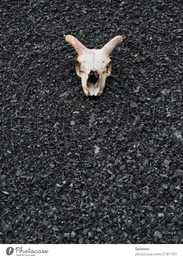 Totenkopf Schädel Tod tot Tierschädel Hörner Schotter Steine dunkel düster hoffnungslos vergänglich totes Tier Farbfoto