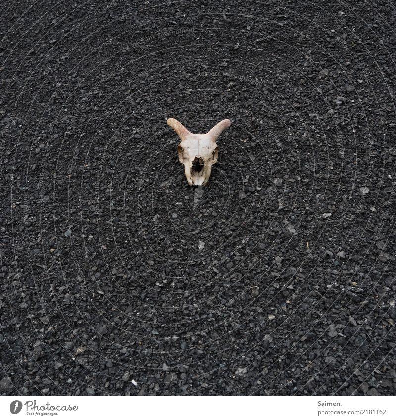 Tod Schädel kopf Bock Schotter ende entgültig endlich Hörner Ewegkeit Steine Tierschädel Totenschädel Totenkopf sterben Furcht Angst Entsetzen