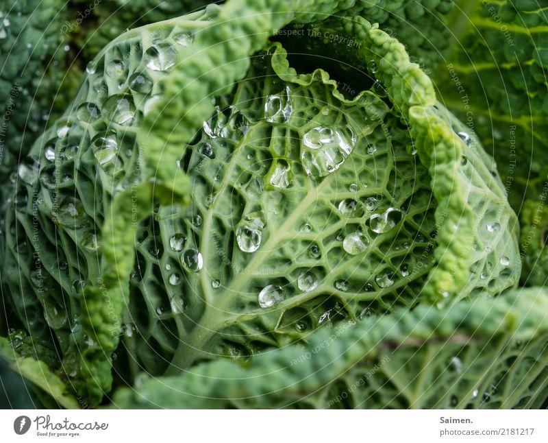 Wirsing mit Wasserperlen Wassertropfen Grün kohl Gemüse Lebensmittel Ernährung Nahrung Veganer biologisch Natur Garten Farbfoto Bioprodukte frisch Gesundheit