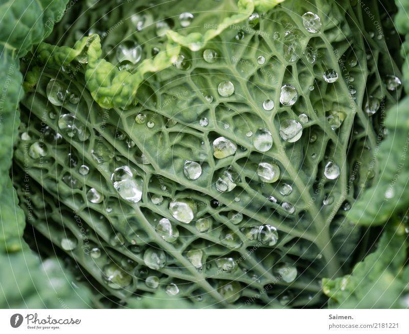 Wassertropfen auf dem Wirsing Verkabelung Natur Gemüse gesunde ernährung natürlich Nahrungsmittel Anbau Garten grün Vegetarisch Veganer Ernährung Stadt Essen