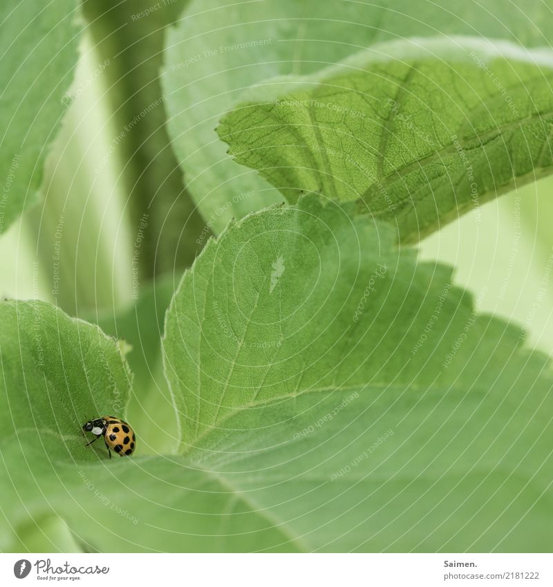 Marienkäfer auf Blatt Stufe Käfer punkte Grün Natur Flora Fauna Garten leben Lebewesen Nahaufnahme