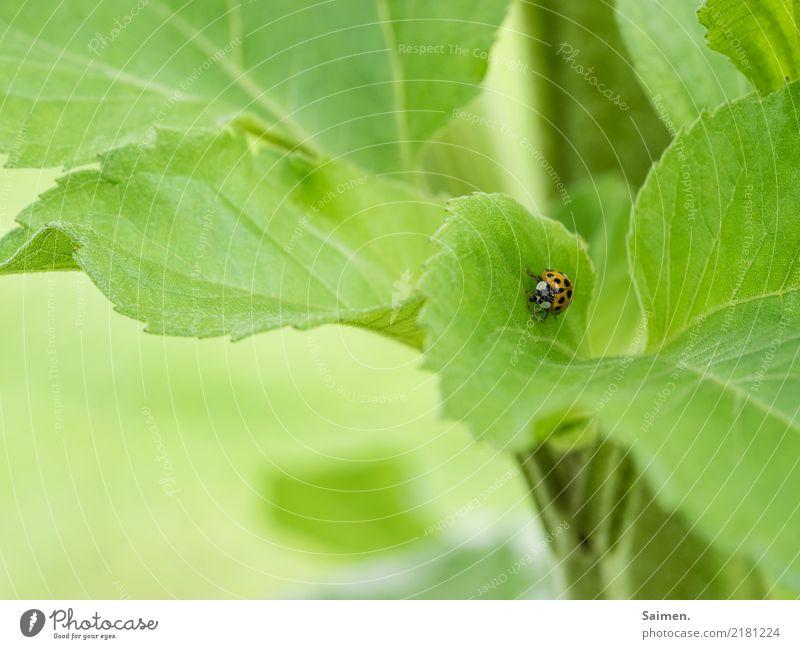 Langer Marsch des Marienkäfers Käfer Insekt krabbeln Laufen Blatt Grün Natur Garten Farbfoto pflanze Nahaufnahme Gemüse Stufe Sommer punkte gepunktet klein