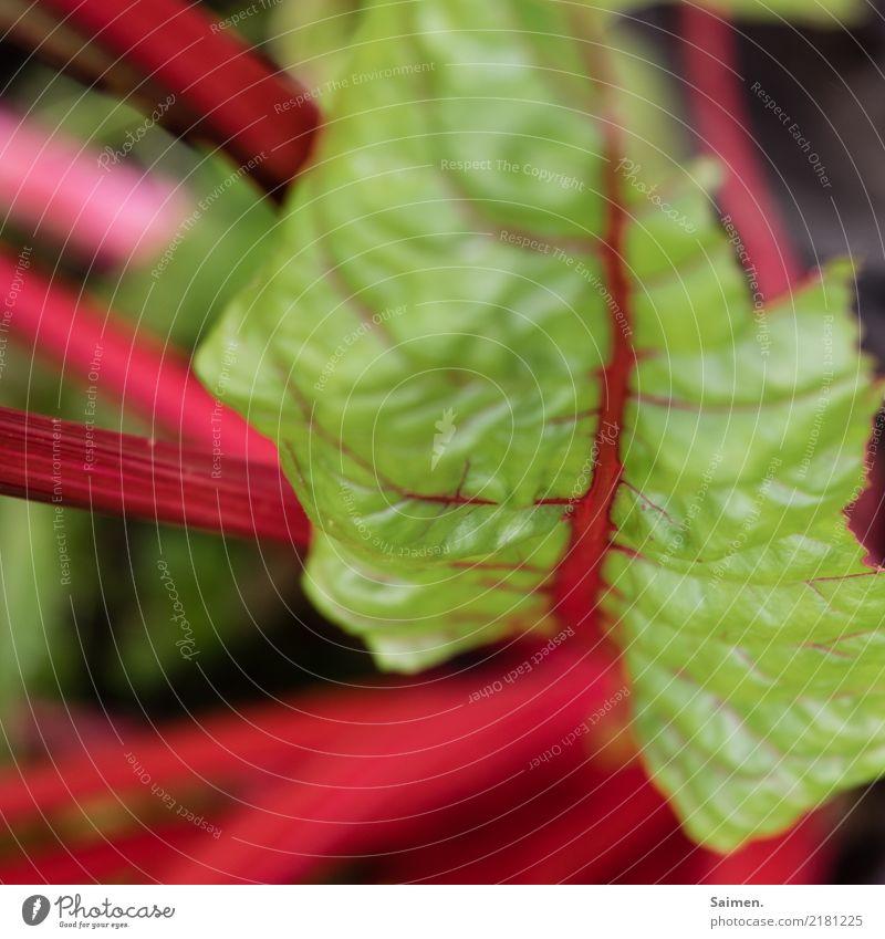 Mangold Garten Gemüse gesund gesunde ernährung Farbfoto Gesunde Ernährung Bioprodukte Essen frisch lecker Veganer Vegetarische Ernährung vegetarische Ernährung