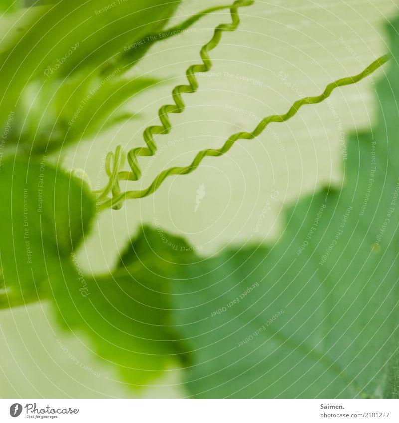 Gekringelt Grün Natur pflanze Ranke ranken wachsen Garten Farbfoto Frühling Gemüse