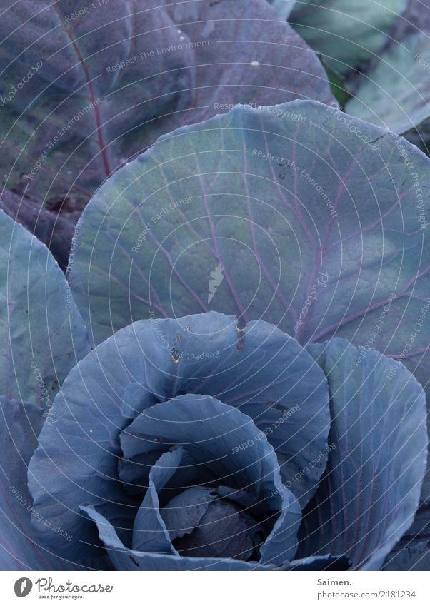 Rotkohl Garten wachstum pflanze Natur Gemüse Vegetarisch Veganer organisch Biografie Bio-Gemüse Anbau Nahrung Ernährung gesund gesunde ernährung Detailaufnahme