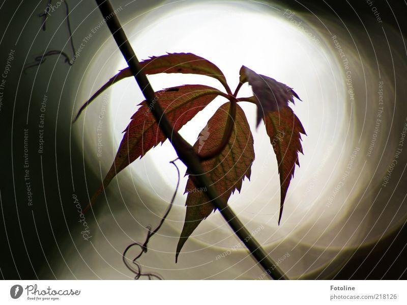 Spot an! Umwelt Natur Pflanze Urelemente Himmel Herbst dunkel hell natürlich Wilder Wein Ranke Kletterpflanzen Gegenlicht Farbfoto Außenaufnahme Nahaufnahme