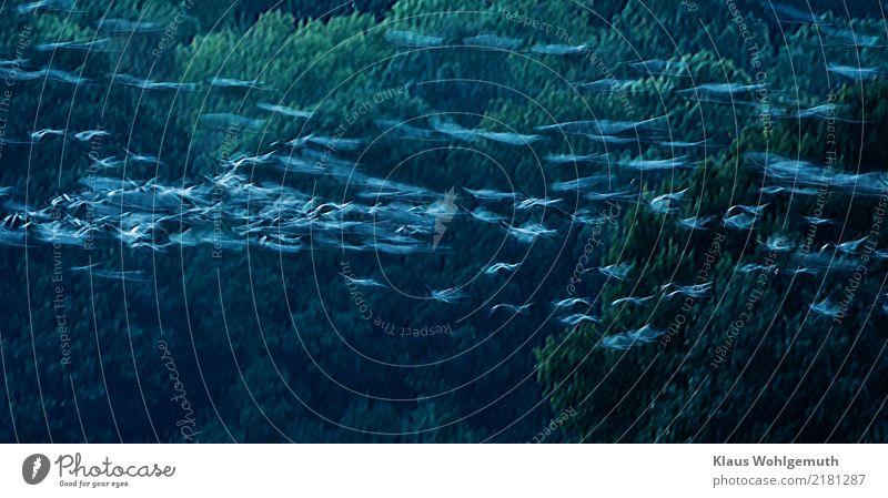 Auf und davon Natur blau grün Baum Tier Wald Umwelt Herbst außergewöhnlich grau fliegen Vogel Feld Schwarm Kranich