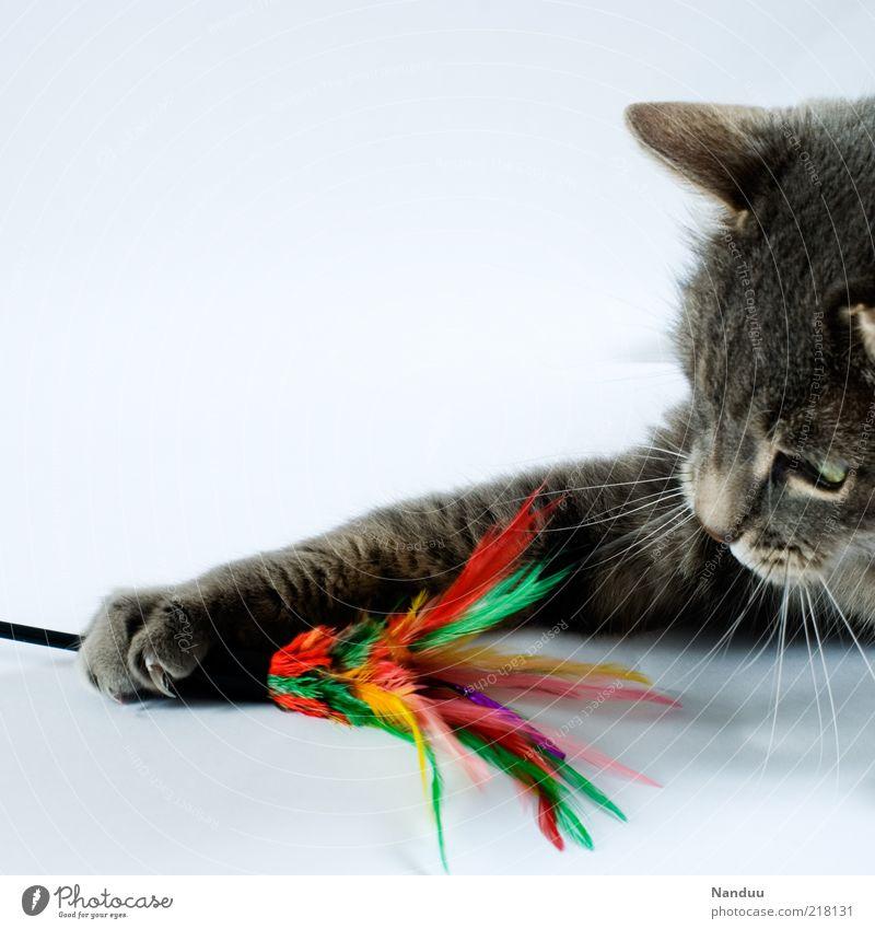 Katzentatzen kratzen. Tier Haustier 1 Spielen Pfote Federspiel festhalten Spieltrieb Tierjunges Krallen Spielzeug Menschenleer grau Schnurrhaar Tierporträt