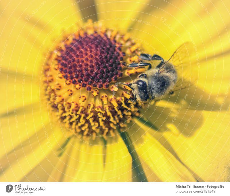 Biene in gelber Blüte Honig Natur Pflanze Tier Sonne Sonnenlicht Schönes Wetter Blume Wildpflanze Wiese Wildtier Tiergesicht Flügel Beine Auge Honigbiene Insekt