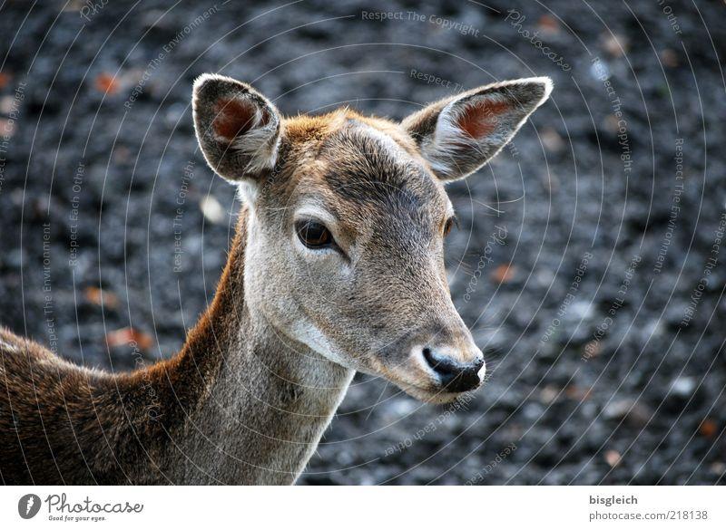 Bambi ruhig Tier Auge Tierjunges Nase Wildtier Ohr Tiergesicht Fell Wachsamkeit Reh achtsam Rehkitz