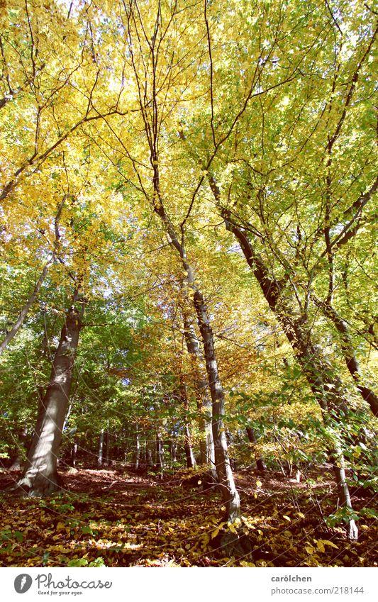 Buchenwald Natur Baum grün gelb Wald Herbst Landschaft braun Umwelt Ast wild Baumstamm Harz ursprünglich herbstlich