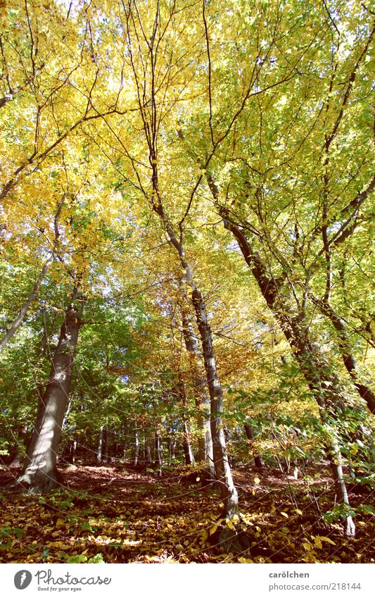 Buchenwald Natur Baum grün gelb Wald Herbst Landschaft braun Umwelt Ast wild Baumstamm Harz ursprünglich Buche herbstlich