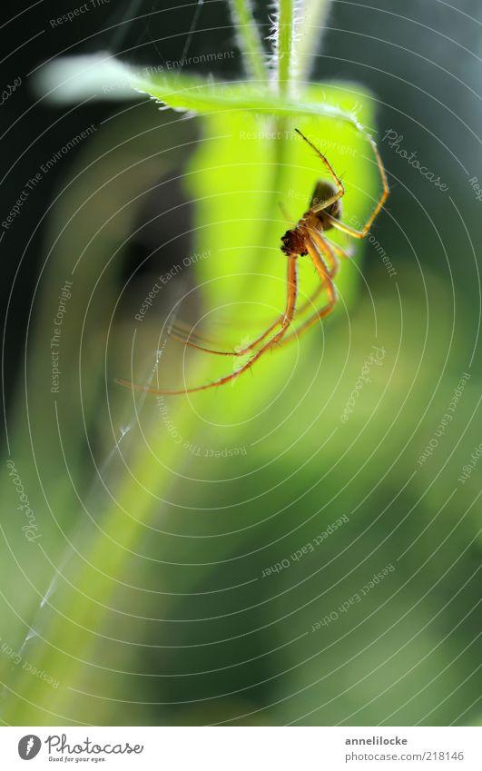 Versteck Natur grün Pflanze Sommer Blatt Tier Frühling Umwelt leuchten Wildtier Spinne krabbeln Spinnennetz Makroaufnahme Spinnenbeine leuchtend grün