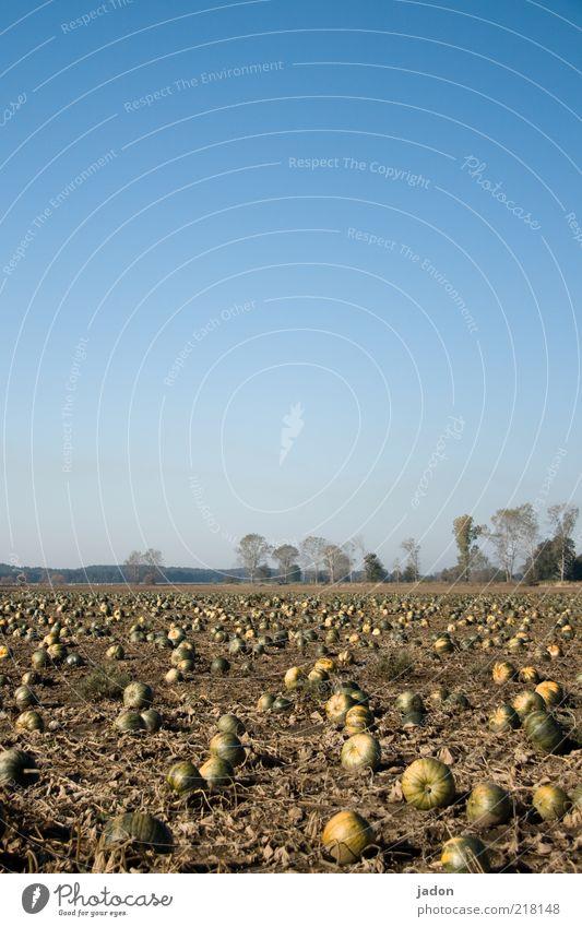 die grosse versammlung der kürbisse. Lebensmittel Gemüse Kürbis Kürbiszeit Bioprodukte Feld Sand rund gelb Umwelt Textfreiraum oben Sonnenlicht