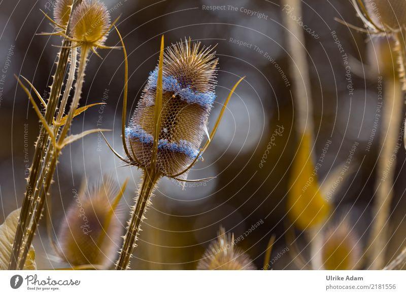 Wilde Karde Natur Pflanze Sommer ruhig dunkel Blüte Herbst Traurigkeit Garten Park Blühend Vergänglichkeit Trauer stachelig Stachel Dorn