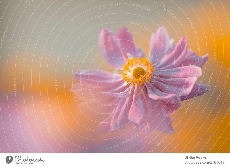 Herbst Anemone (Anemone hupehensis) Natur Pflanze Sommer schön Sonne Blume Erholung ruhig Wärme Blüte Garten rosa orange Park Dekoration & Verzierung