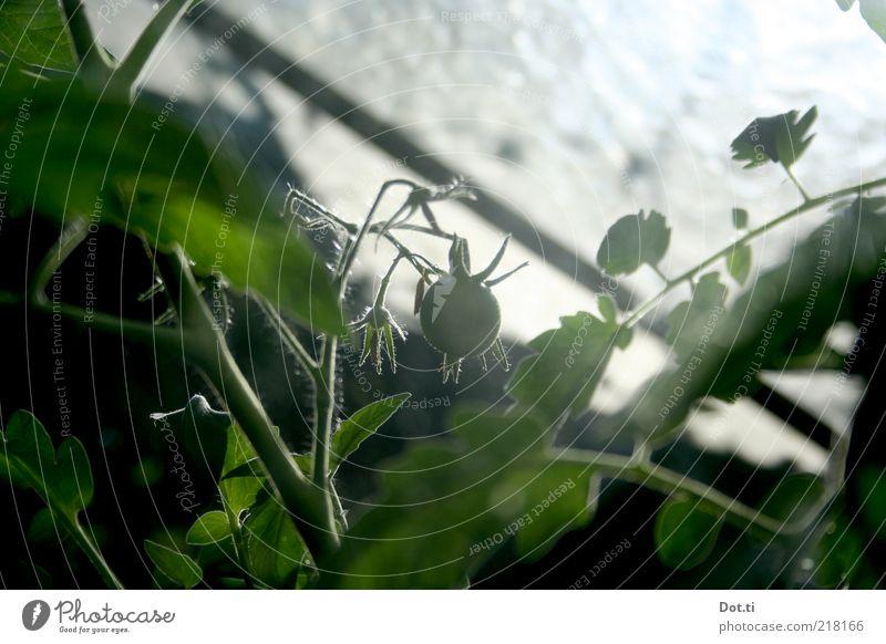 Selbstversorgerhaus grün Pflanze Gesundheit Glas Gemüse reif Arbeit & Erwerbstätigkeit Geborgenheit Tomate Bioprodukte Ausdauer Gewächshaus Plantage Nutzpflanze