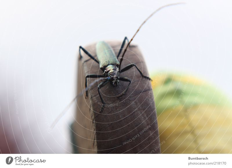 moschusbock Natur grün schwarz Tier Holz Beine Insekt Käfer Fühler krabbeln Stuhllehne Polster Sechsfüßer Bockkäfer Moschusbock