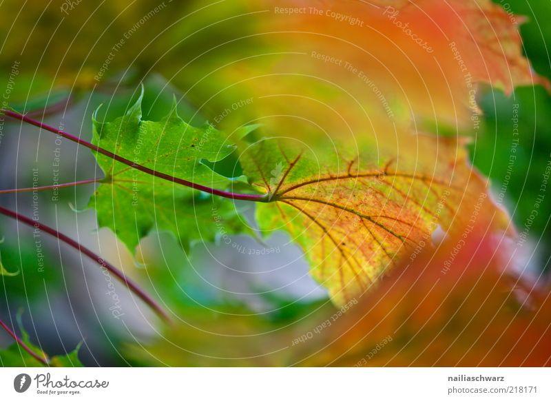 Herbst Natur Pflanze Baum Blatt Ahorn Ahornblatt ästhetisch Farbfoto mehrfarbig Außenaufnahme Menschenleer Tag Schwache Tiefenschärfe Herbstlaub Herbstfärbung