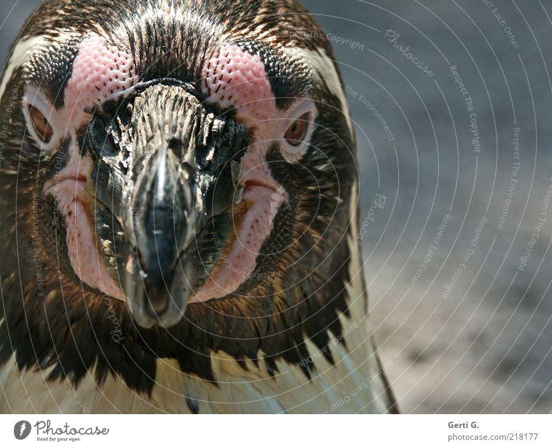 Ping Tier Auge Gefühle Stimmung Tiergesicht Zoo Gesichtsausdruck Schnabel Pinguin Meeresvogel flugunfähig