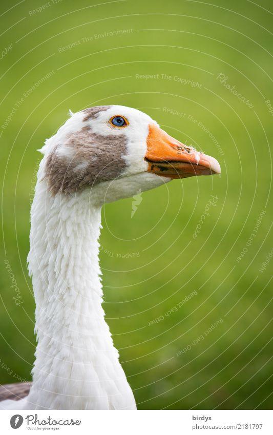 Neugier Wiese Nutztier Gans 1 Tier beobachten Blick ästhetisch frei listig lustig natürlich positiv klug grau grün orange weiß Zufriedenheit Wachsamkeit