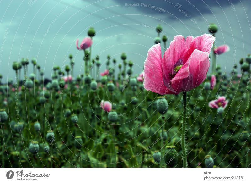 letzte blüte Mohn Mohnblüte Mohnfeld Mohnkapsel harmonisch Natur Landschaft Pflanze schlechtes Wetter Blume Blüte Nutzpflanze Feld ästhetisch Vergänglichkeit