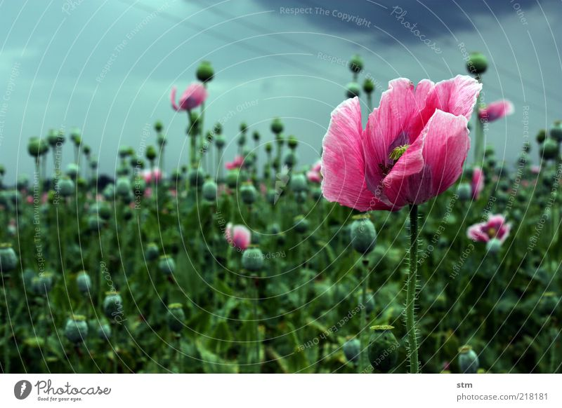 letzte blüte Natur Blume Pflanze Blüte Landschaft Feld rosa ästhetisch Wandel & Veränderung Vergänglichkeit zart Mohn harmonisch Stauden schlechtes Wetter