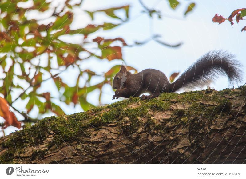 Eichhörnchen Natur Pflanze Baum Tier Wald Wildtier Fell Umweltschutz kuschlig Kastanienbaum Tierschutz Waldtier
