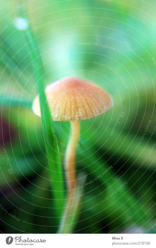 Männlein 3 Natur Wiese Herbst Gras klein Wachstum Pilz Gift herbstlich Pilzhut bräunlich hellbraun