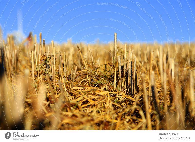 Kornfeld nach der Ernte Natur gelb Herbst Stimmung Feld gold Perspektive Wandel & Veränderung Idylle Blauer Himmel Stoppelfeld