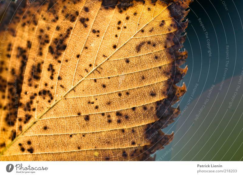 Zerfall Umwelt Natur Pflanze Urelemente Herbst Wetter Blatt leuchten dehydrieren natürlich trocken Stimmung vergilbt Strukturen & Formen gelb schön vergangen