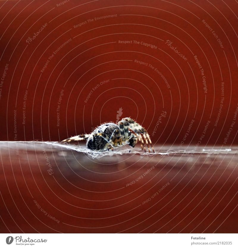4+4 Umwelt Natur Tier Herbst Garten Wald Wildtier Spinne 1 groß nah natürlich braun Kreuzspinne Spinnennetz Spinnenbeine Farbfoto mehrfarbig Außenaufnahme