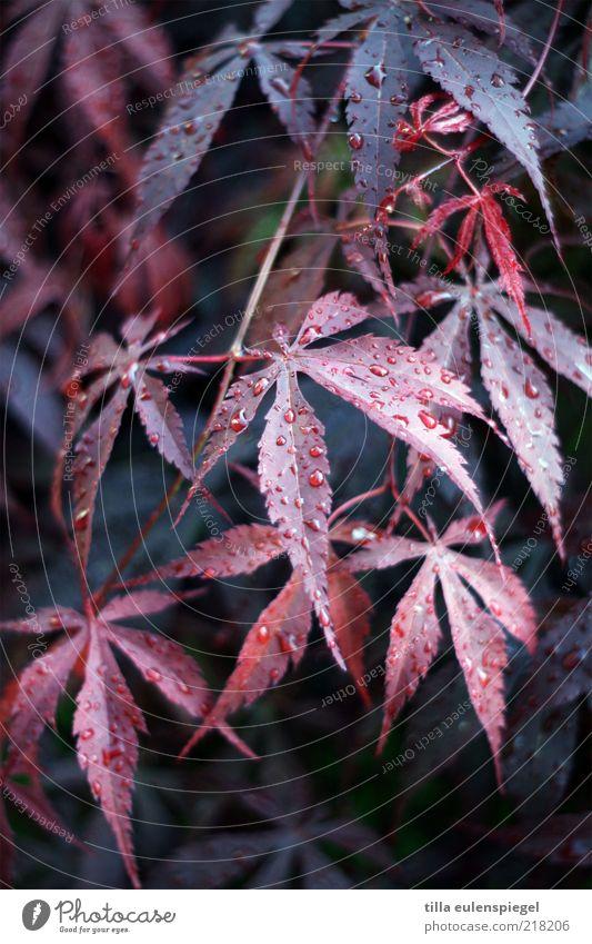 herbstbild Natur blau Pflanze rot Blatt kalt Herbst Umwelt nass Wassertropfen Wein Vergänglichkeit natürlich feucht Tau verblüht