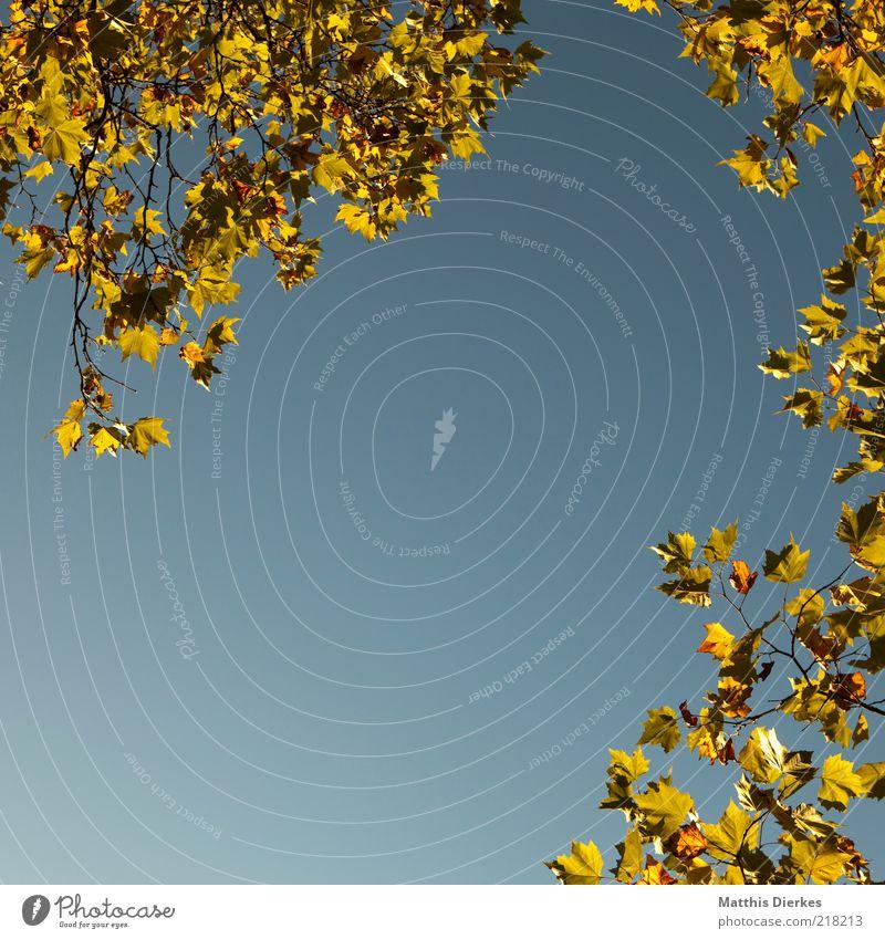 Herbstrahmen Blatt Rahmen Zweig Ast Baum herbstlich Textfreiraum gold Blauer Himmel Froschperspektive Herbstlaub Zweige u. Äste Herbstfärbung Schönes Wetter