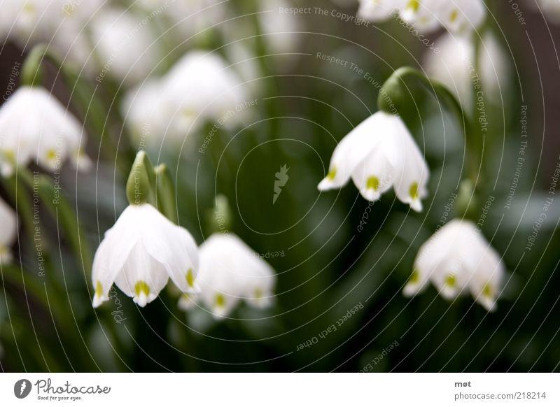 Den Kopf hängen lassen Umwelt Natur Pflanze Sommer Blume Blüte grün weiß schön Schneeglöckchen Farbfoto Außenaufnahme Menschenleer Tag Unschärfe