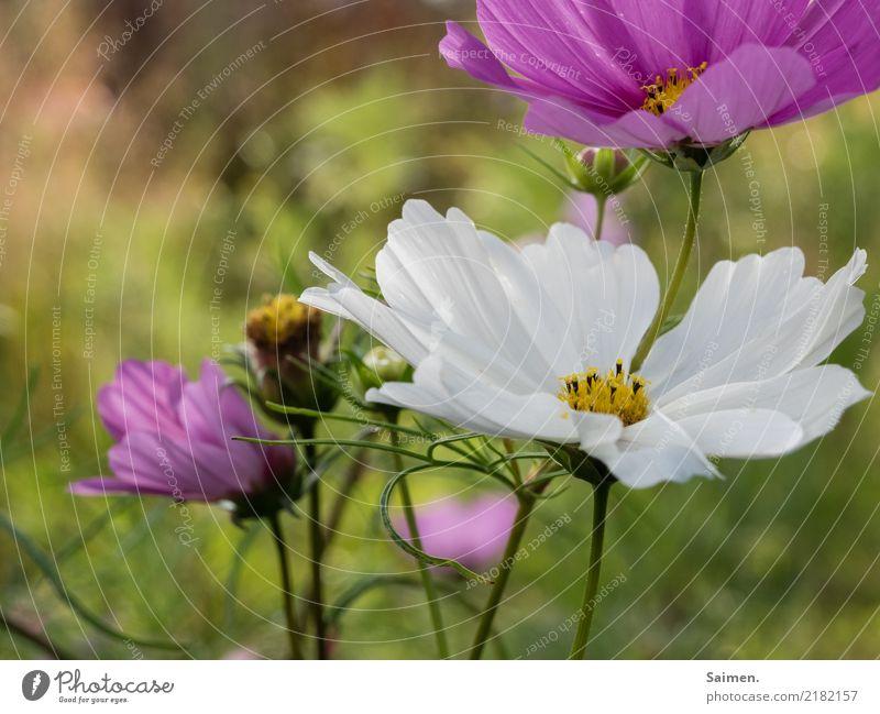 Blumen Blütenblatt pflanze Gewächs Natur wachsen Frühling wachstum schön leben Garten Stiel Farbfoto rosa Pflanze Nahaufnahme Farbe weiss Detailaufnahme Blatt