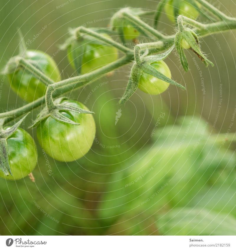 Grüne Tomaten Tomatenrispe gesund Biografie Ernährung Vegetarisch Veganer Nahrung Gemüse lecker frisch