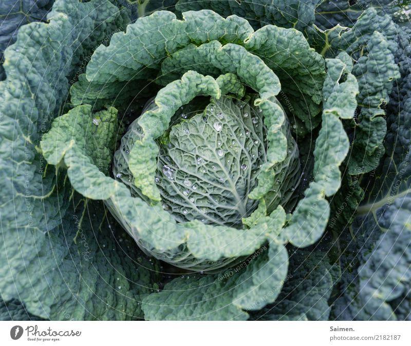 Wirsing kohl Gemüse Ernährung gesund gesunde ernährung anbauen Pflanzen Stadt Essen Nahrung Biografie Vegetarisch Veganer Garten lecker Vitamin organisch