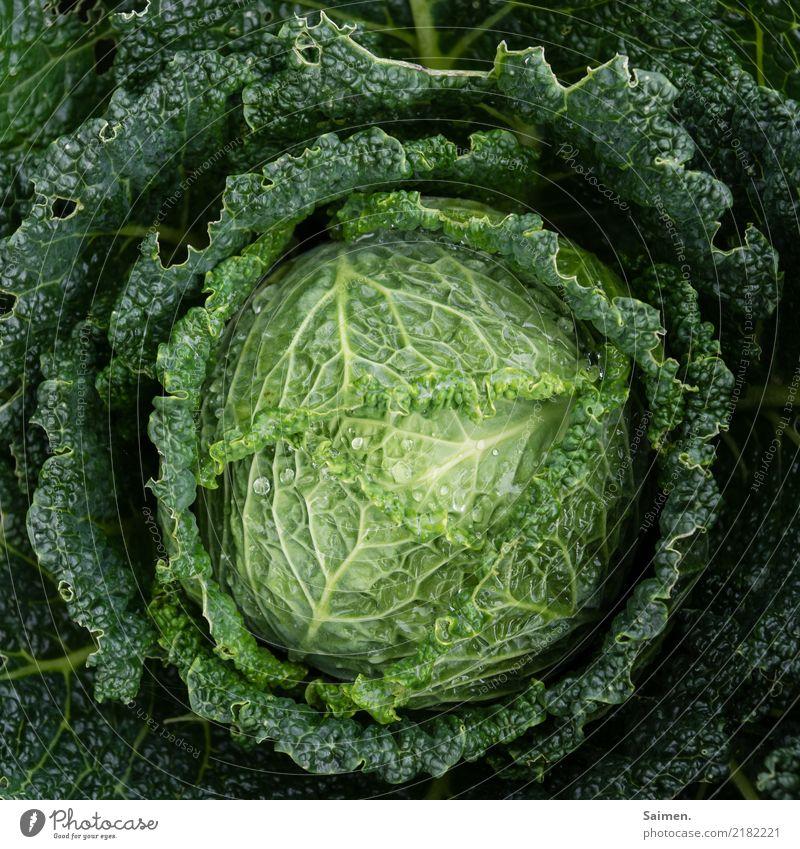 Wirsing kohl gesund gesunde ernährung Stadt Essen Ernährung Grün Garten gärtnern Lebensmittel Wassertropfen Vegetarisch vegan bio lecker frisch Gemüse