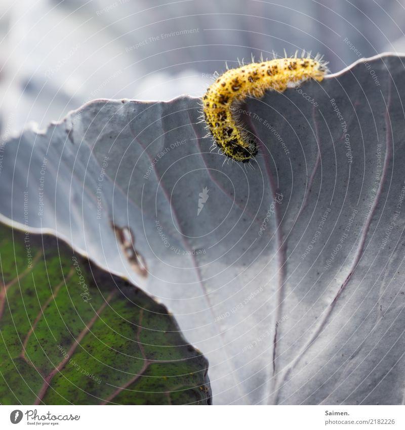 Nimmersatt Natur Pflanze Sommer schön Tier Leben gelb Garten frisch Appetit & Hunger Fressen Nutzpflanze Raupe Kohl Komplementärfarbe Rotkohl