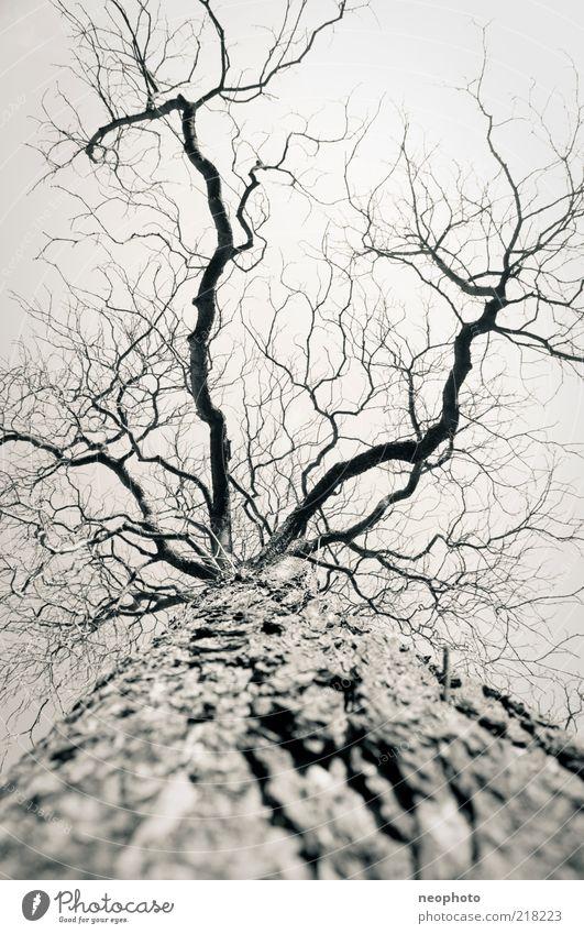 nicht mehr lang Baum Winter Herbst Wetter trist Baumstamm kahl Klimawandel Geäst Baumrinde Kontrast laublos himmelwärts