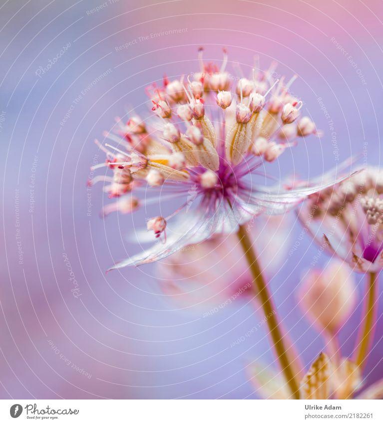 Sterndolde (Astrantia) Natur Pflanze blau Sommer Erholung ruhig Frühling Innenarchitektur Garten rosa Zufriedenheit Park Dekoration & Verzierung elegant