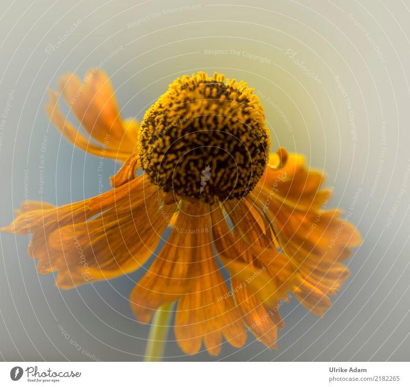 Blüte der gelben Sonnenbraut (Helenium) Natur Pflanze Sommer schön Blume ruhig Wärme Herbst Innenarchitektur Garten orange Design Park Dekoration & Verzierung