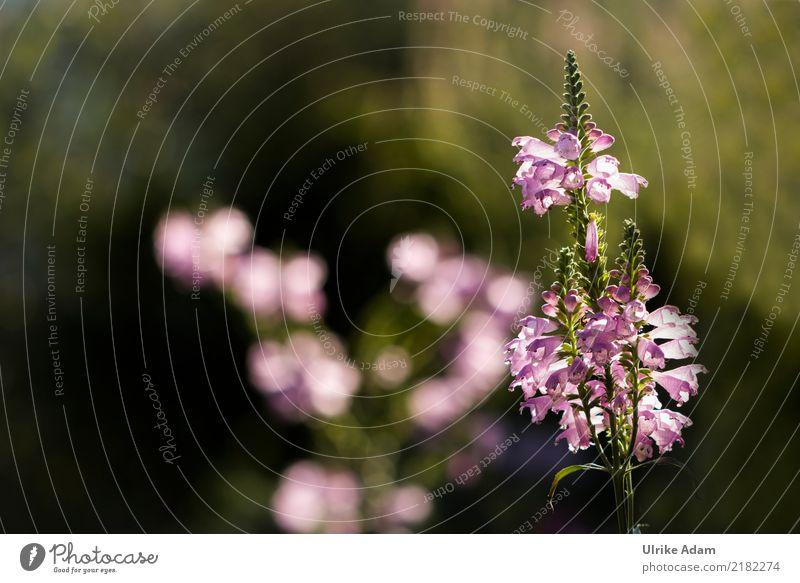 Gelenkblume (Physostegia virginiana) Natur Pflanze Sonnenlicht Sommer Herbst Blume Blüte Unschärfe Garten Park Blühend glänzend leuchten schön Wärme weich grün