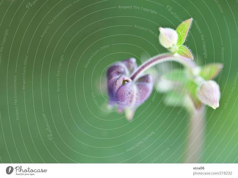 wachstum Natur Blume grün Pflanze Blatt Blüte Umwelt weich violett zart