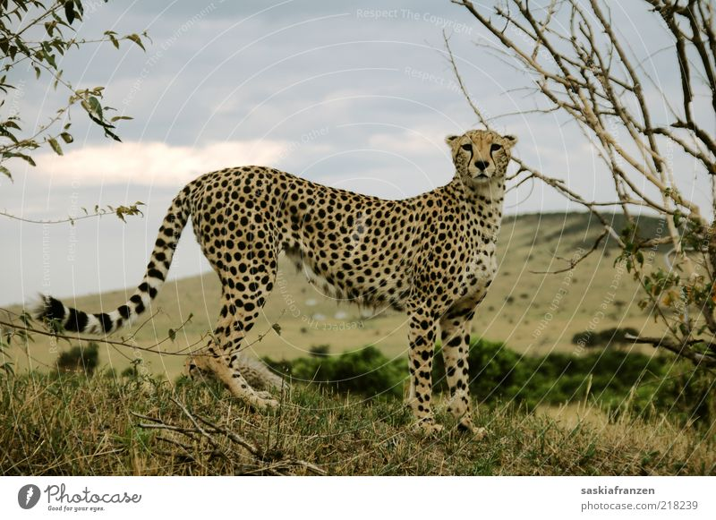 Cheetah. Katze Natur Wolken Tier Umwelt Landschaft elegant warten wild natürlich Wildtier Abenteuer ästhetisch authentisch stehen beobachten