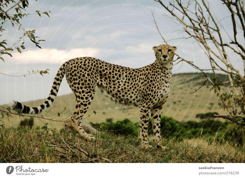 Cheetah. Umwelt Natur Landschaft Wolken Tier Wildtier Katze 1 beobachten fangen Jagd Blick stehen warten ästhetisch authentisch elegant muskulös natürlich dünn
